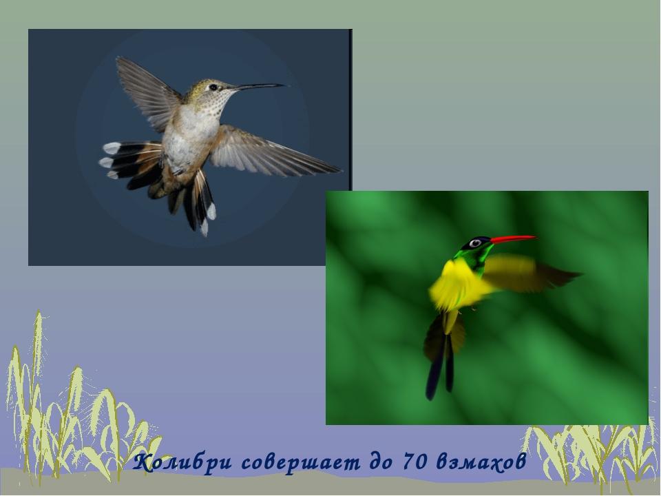 Колибри совершает до 70 взмахов