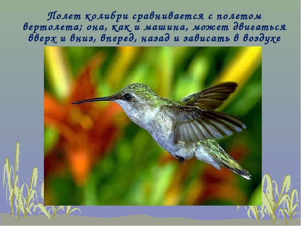 Полет колибри сравнивается с полетом вертолета; она, как и машина, может двиг...