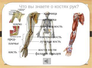 Что вы знаете о костях рук? ключица лопатка плечевая кость локтевая кость лу