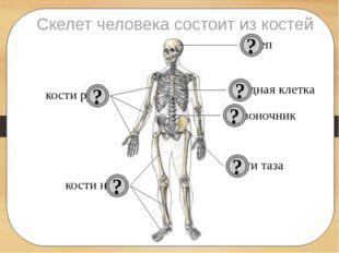 Скелет человека состоит из костей череп позвоночник грудная клетка кости рук
