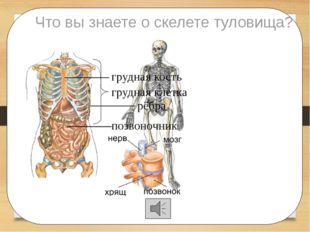 Что вы знаете о скелете туловища? позвоночник рёбра грудная кость грудная кл