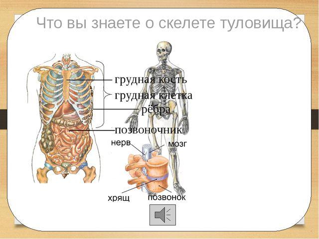 Что вы знаете о скелете туловища? позвоночник рёбра грудная кость грудная кл...