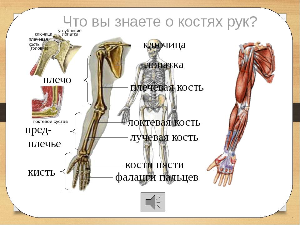 Что вы знаете о костях рук? ключица лопатка плечевая кость локтевая кость лу...