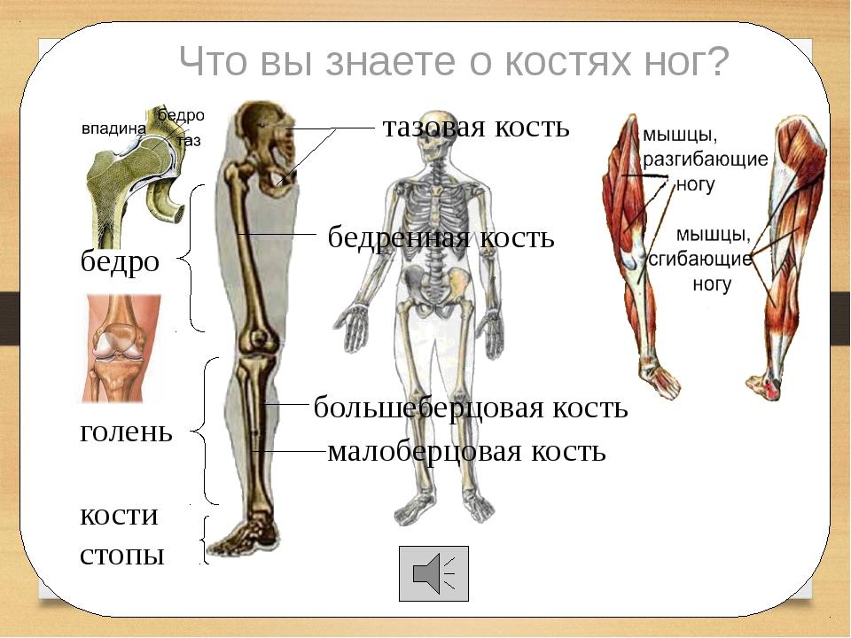 Что вы знаете о костях ног? тазовая кость бедренная кость большеберцовая кос...