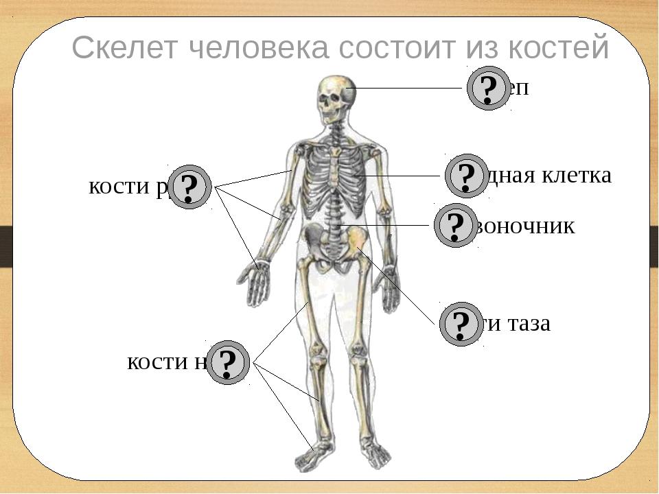 Скелет человека состоит из костей череп позвоночник грудная клетка кости рук...