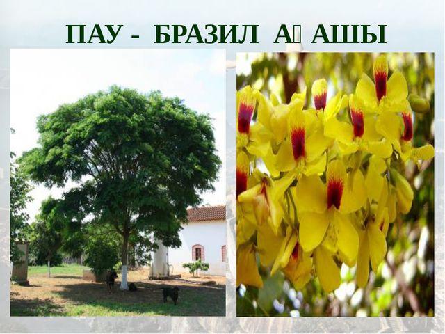 ПАУ - БРАЗИЛ АҒАШЫ
