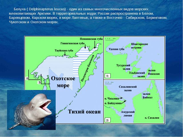 Белуха ( Delphinapterus leucas) - один из самых многочисленных видов морских...