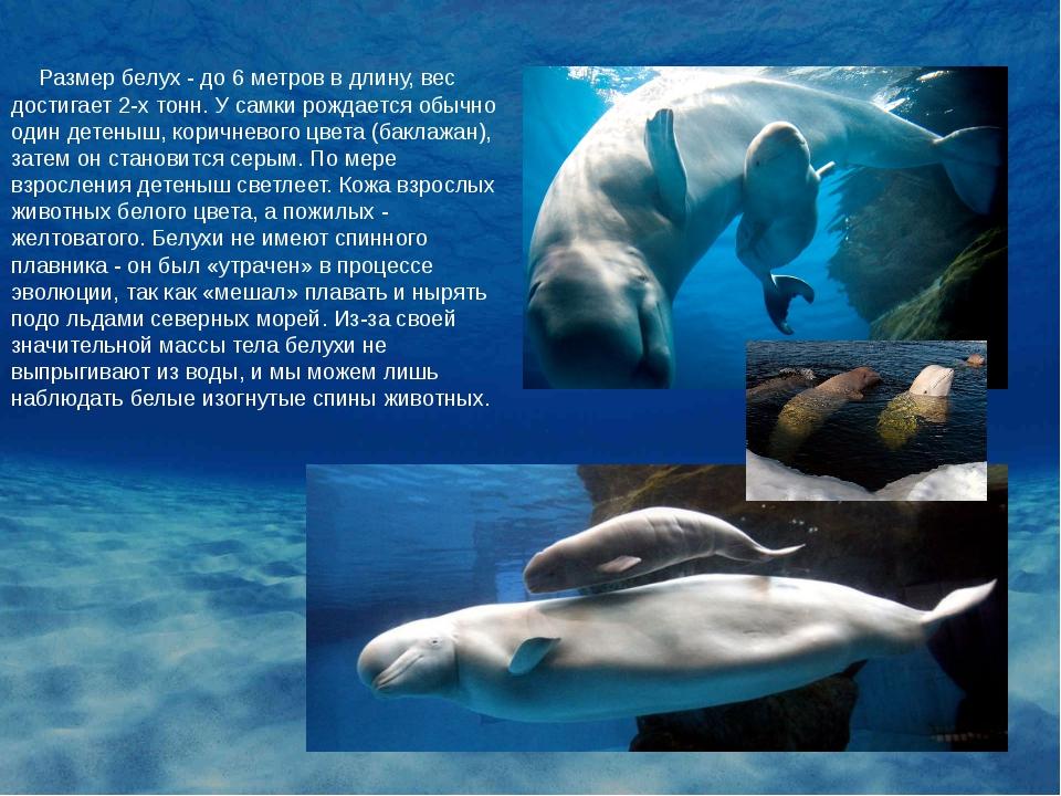 Размер белух - до 6 метров в длину, вес достигает 2-х тонн. У самки рождаетс...