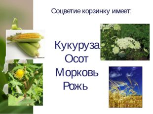 Соцветие корзинку имеет: Кукуруза Осот Морковь Рожь