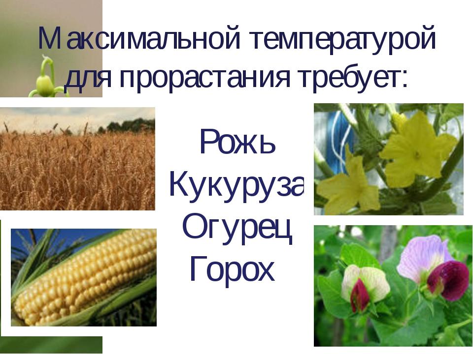 Максимальной температурой для прорастания требует: Рожь Кукуруза Огурец Горох