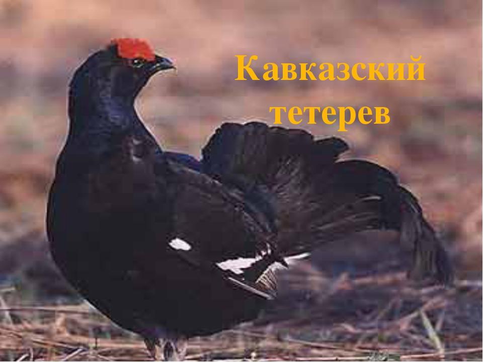 Кавказский тетерев