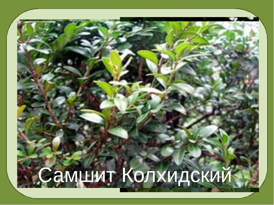 Барбарис обыкновенный Каштан посевной Самшит Колхидский