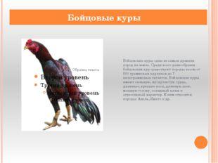 Бойцовские куры одни из самых древних пород на земле. Среди всего разнообрази