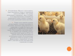 Птицефабрики «Курского агрохолдинга» будут выращивать птицу по современной те