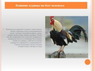 Наблюдая за курицей и слушая пение петуха, уходят сердечные боли и выравнивае