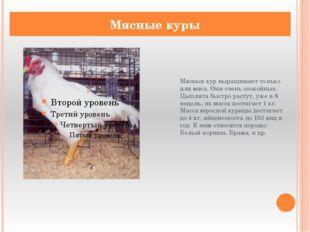 Мясных кур выращивают только для мяса. Они очень спокойные. Цыплята быстро ра