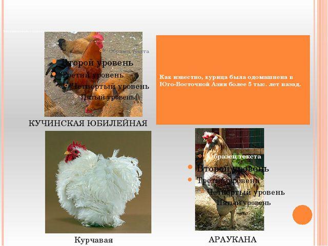 Эти удивительные курочки и петухи. Как известно, курица была одомашнена в Юг...