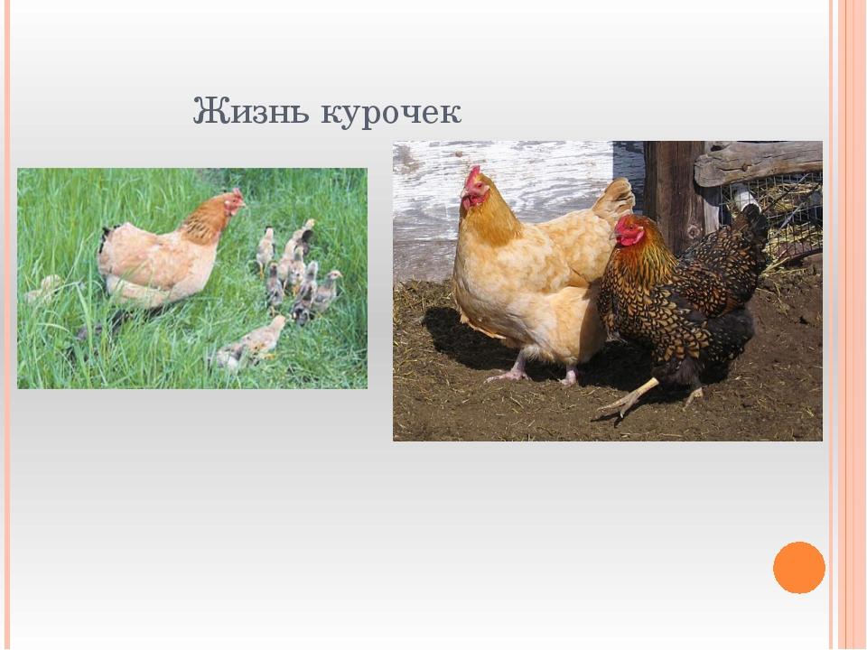 Жизнь курочек