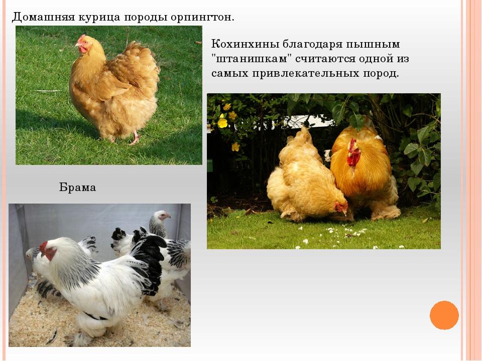 "Домашняя курица породы орпингтон. Кохинхины благодаря пышным ""штанишкам"" счит..."