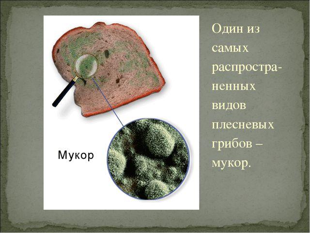 Один из самых распростра-ненных видов плесневых грибов – мукор.