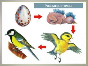 Развитие птицы
