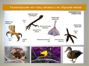 Разнообразие ног птиц связано с их образом жизни