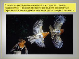 Большие перья на крыльях помогают летать, перья на туловище защищают тело и п