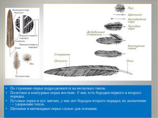 По строению перья подразделяются на несколько типов. Полетные иконтурные пер