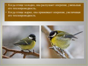 Когда птице холодно, она распушает оперение, уменьшая его теплопроводность. К