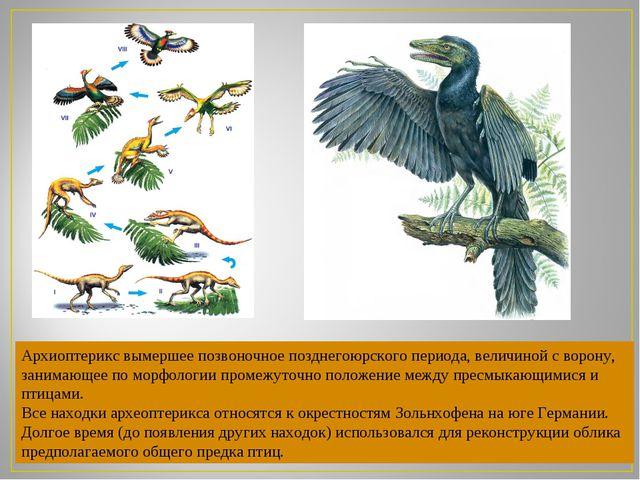 Архиоптерикс вымершее позвоночное позднегоюрского периода, величиной сворону...