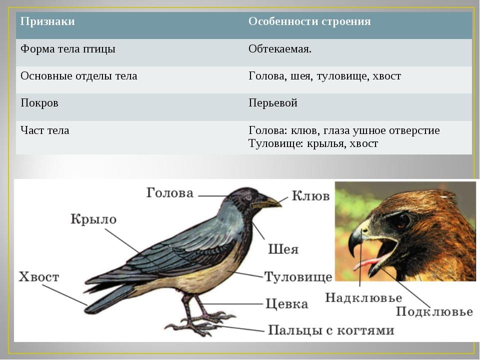 Признаки Особенности строения Форма тела птицыОбтекаемая. Основные отделы т...
