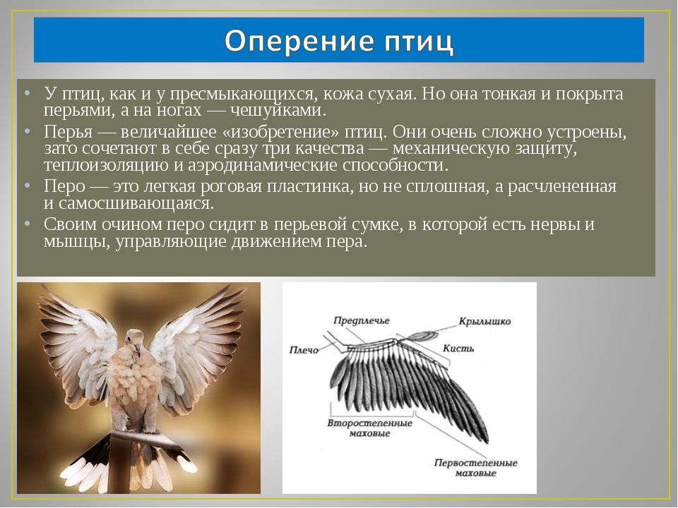 У птиц, как и у пресмыкающихся, кожа сухая. Но она тонкая и покрыта перьями,...
