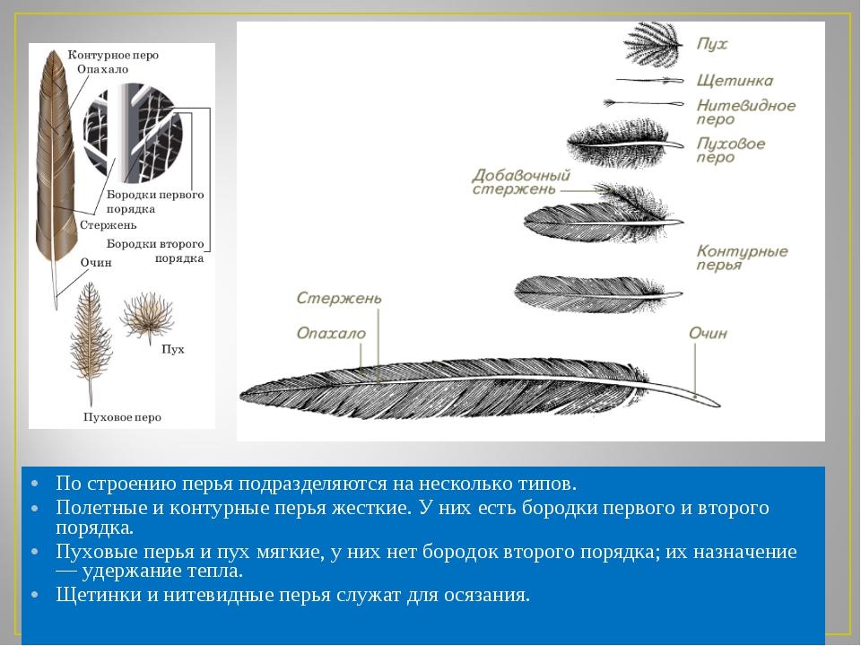 По строению перья подразделяются на несколько типов. Полетные иконтурные пер...