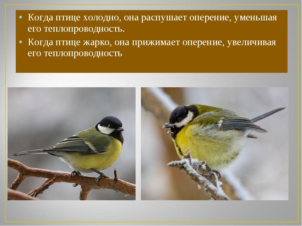 Когда птице холодно, она распушает оперение, уменьшая его теплопроводность. К...