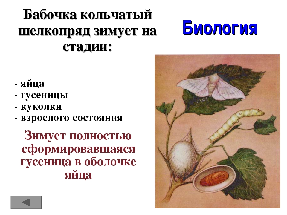 Бабочка кольчатый шелкопряд зимует на стадии: Биология - яйца - гусеницы - ку...