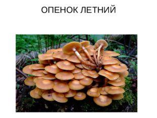 ОПЕНОК ЛЕТНИЙ