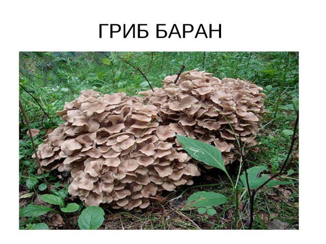 ГРИБ БАРАН