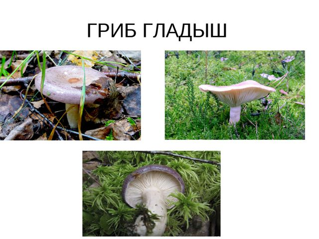 ГРИБ ГЛАДЫШ