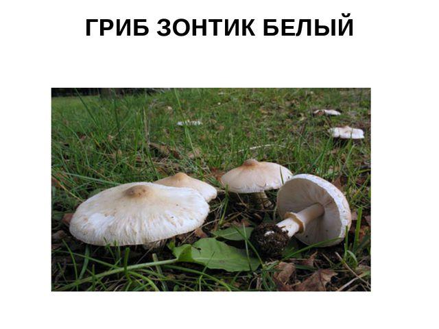 ГРИБ ЗОНТИК БЕЛЫЙ