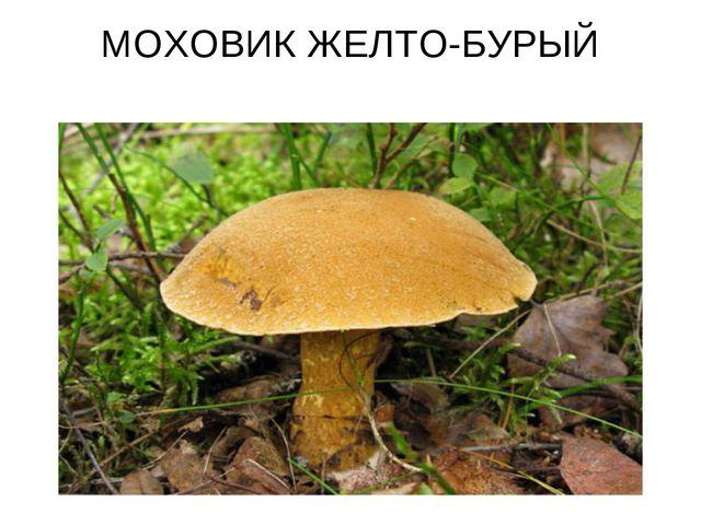 МОХОВИК ЖЕЛТО-БУРЫЙ