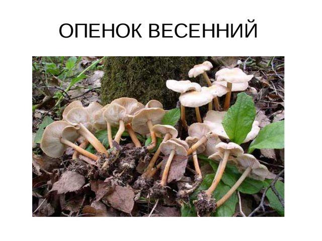 ОПЕНОК ВЕСЕННИЙ
