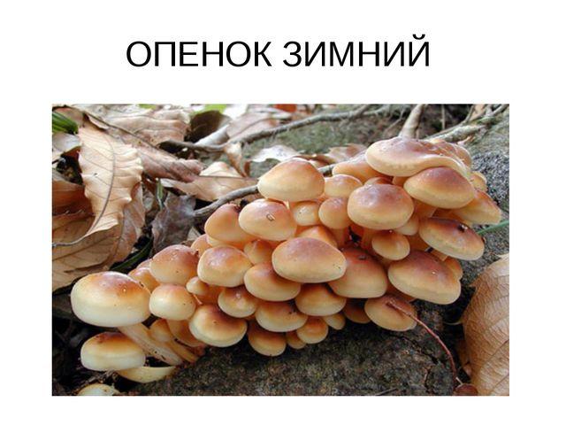 ОПЕНОК ЗИМНИЙ