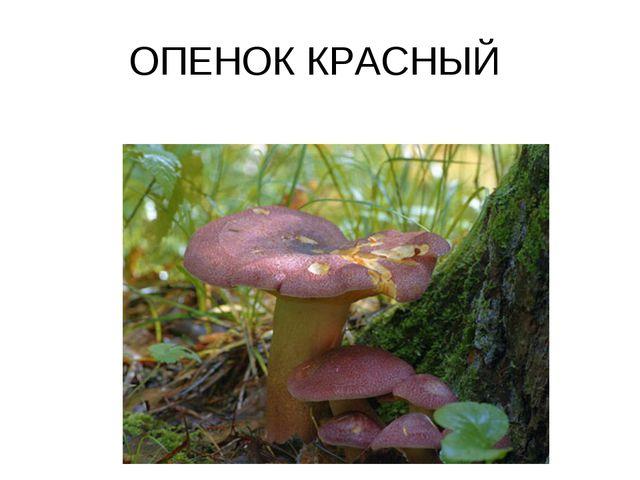 ОПЕНОК КРАСНЫЙ