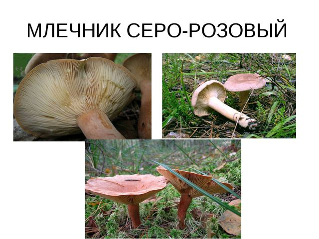 МЛЕЧНИК СЕРО-РОЗОВЫЙ