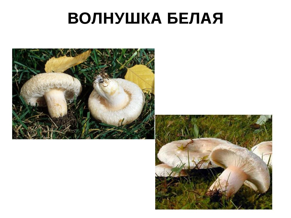 ВОЛНУШКА БЕЛАЯ