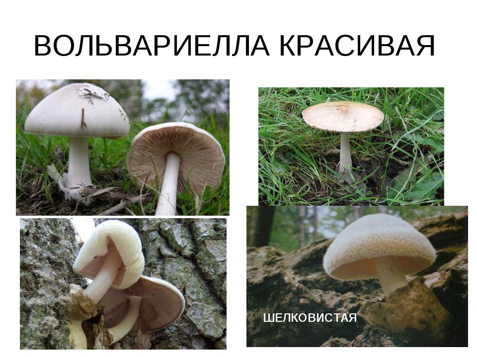 ВОЛЬВАРИЕЛЛА КРАСИВАЯ ШЕЛКОВИСТАЯ