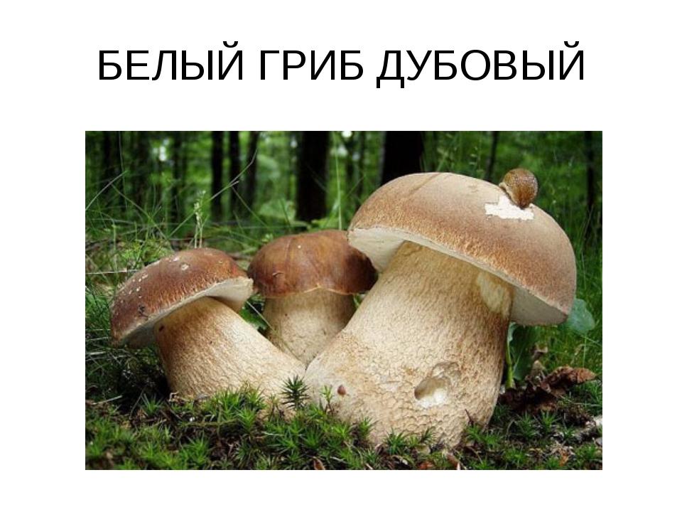 Дуб и белый гриб