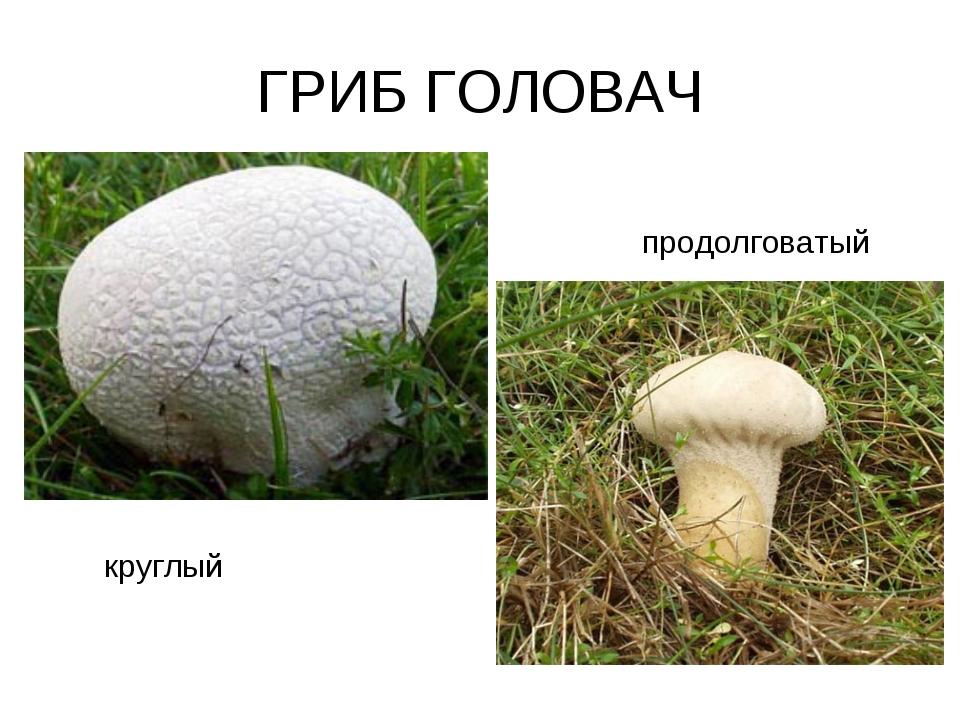 ГРИБ ГОЛОВАЧ круглый продолговатый