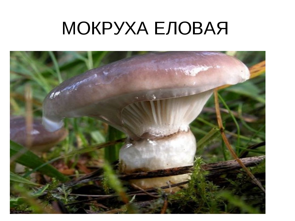 МОКРУХА ЕЛОВАЯ