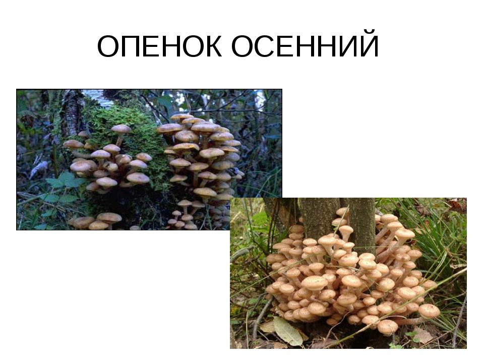 ОПЕНОК ОСЕННИЙ